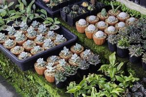 Succulents in small pots