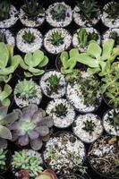 Cacti in small pots photo