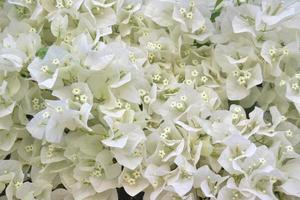 Bouquet of small white flowers of bouganvillea