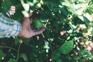 The gardener picking up lemon produce in the garden