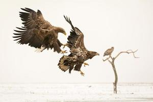 Two thite-tailed eagles fighting in winter setting