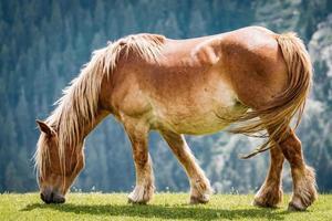 Hermoso caballo castaño pastando en una pradera foto