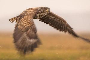 White-tailed eagle in flight with blurred wingtips in winter conditions