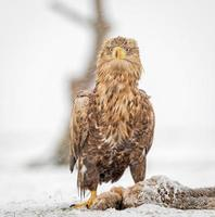 White-tailed eagle with prey in winter setting