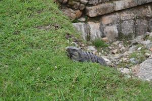 Beautiful iguana in the jungle of Mexico