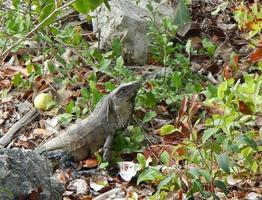 Beautiful iguana that lives in the jungle of Mexico