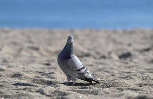 A pigeon looking at the camera on the seashore