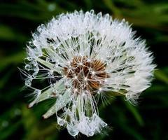 Water in dandelion