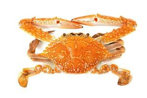Red crab isolated on a white background