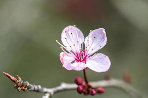 Pink prunus flower photo