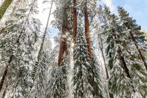 Sun shining through snowy tree tops in winter photo