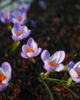 flores púrpuras y blancas en el suelo foto