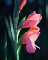 Pink flower in tilt shift lens photo
