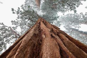 Close-up view of snowy giant sequoia tree