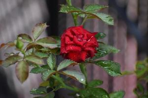 A rose in the garden with a blurry background photo