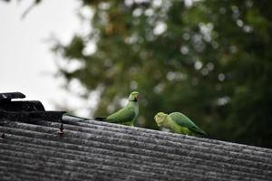 Colorful parrots on a roof photo
