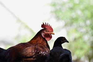 Close-up shot of a rooster