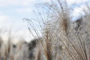Maiden silvergrass in autumn