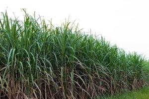 Campo de caña de azúcar sobre fondo blanco.