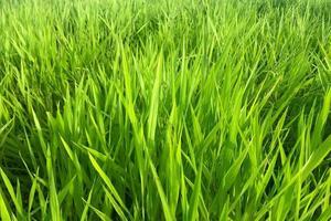 Long green grass background photo