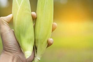 Man's hand holding freshly harvested corn