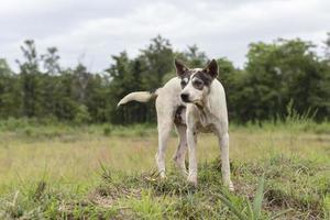 Thai farm dog in the field