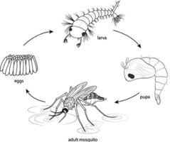 Doodle of mosquito life cycle diagram vector