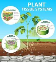 Diagram showing Plant Tissue Systems vector