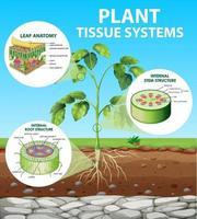 diagrama que muestra los sistemas de tejidos vegetales vector