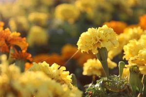 Macro cerca de flores de caléndula naranja y amarilla en flor en primavera