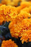 Stock Photo of Orange and Yellow Marigold Flowers in Bloom with MacroMacro close up of orange and yellow marigold flowers in bloom in spring Details in Spring.