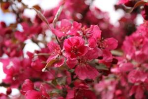 Macro close up of red flowers in bloom on a crabapple tree