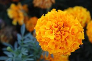 Macro close up of orange and yellow marigold flowers in bloom in spring