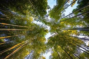 Beautiful bamboo forest at Arashiyama, Kyoto, Japan photo