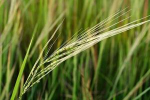 Rice flowering in the fields