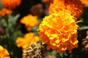 Macro close up of orange and yellow marigold flowers in bloom in spring photo