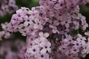 Macro de cerca de flores lilas en flor foto