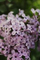 Macro de cerca de flores lilas en flor