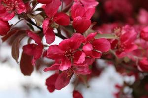 Macro close up of red flowers in bloom on a crabapple tree photo