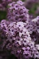 Macro close up of lilac flowers in bloom
