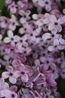 Macro close up of lilac flowers in bloom photo