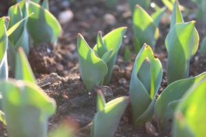 Macro cerca de brotes de plantas verdes y plántulas en el suelo foto