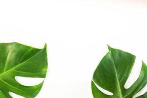 hojas de monstera sobre fondo blanco