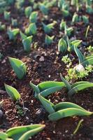 Macro close up of green plant sprouts and seedlings in soil photo