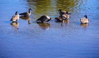 Group of ducks water