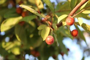 Frutos de manzano silvestre con detalles macro