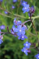 Macro cerca de un alkanet italiano azul en flor durante la primavera
