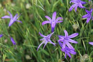 Macro cerca de flores de lirio siberiano púrpura en la primavera