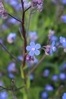 Macro close up of a blue Italian Alkanet in bloom during spring