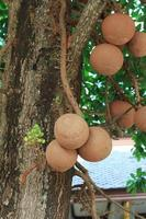Cannonball tree or Sal of India photo